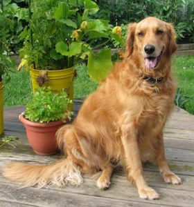 golden-retriever-374874